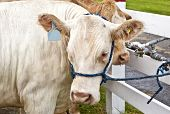 stock photo of charolais  - Cross bred beef animal - JPG
