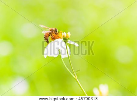 Bee On White Flower, Macro Shot
