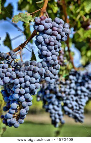 Merlot Grapes In Vineyard Hdr