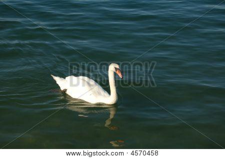 Swan Swimming0