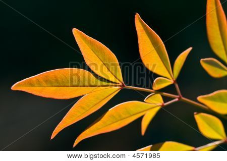 Winter Nandina