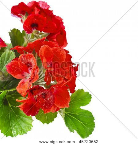 Border of Geranium Pelargonium Flowers with copy space for text on white background
