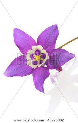 Mini star variety of Aquilegia , alpine plant, on white background