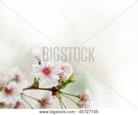 Sakura flowers blooming. Beautiful pink cherry blossom.