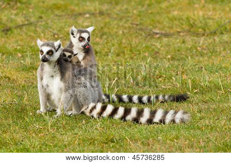 Ring-tailed Lemurs Family