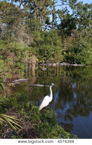 American Alligators And Great Egret