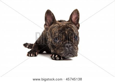 French Bulldog Portrait - Isolated On White