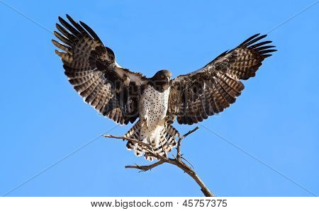 Martial Eagle Landing On Perch
