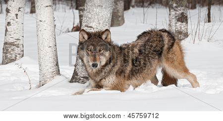 Grey Wolf (Canis lupus) Crouches Near Treeline