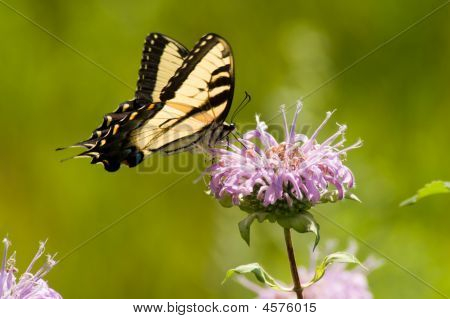 Eastern Tiger Swallowtail (papilio Glaucas)