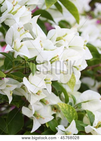 White Bougainvillaea Is Blooming