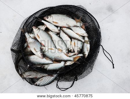 Fresh catch - a lot of fish in net cage on snow