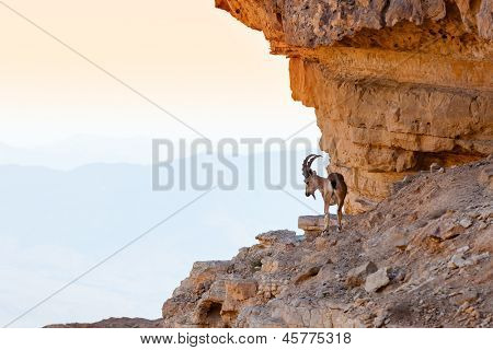 Wild ibex in the Negev Desert in Israel