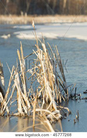 Cattails in a frozen pond
