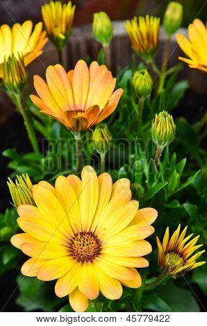 Yellow Daisys In A Flower Pot