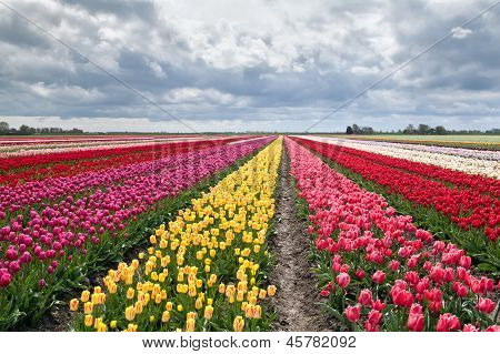 Many Colorful Tulips On Fields