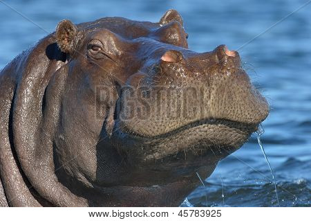 Hippopotomas in water