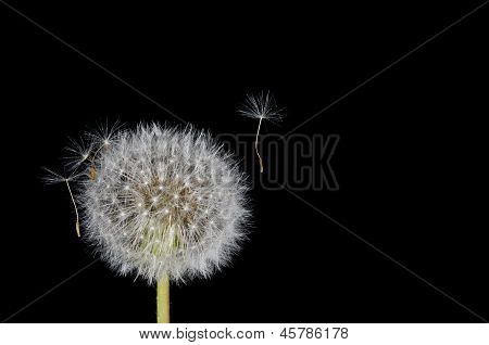 Dandelion Seed Floating Free