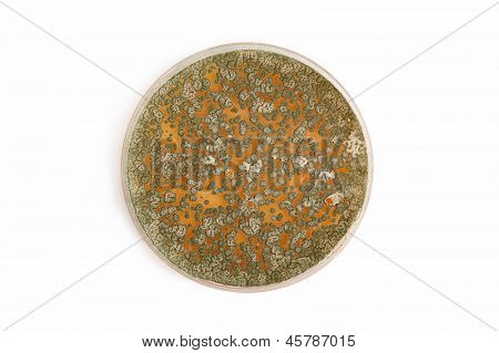 Penicillum Fungi On Agar Plate Over White