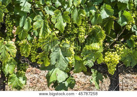 Grapes In Switzerland