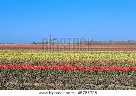 Colorful Tulips And Dutch Windmill