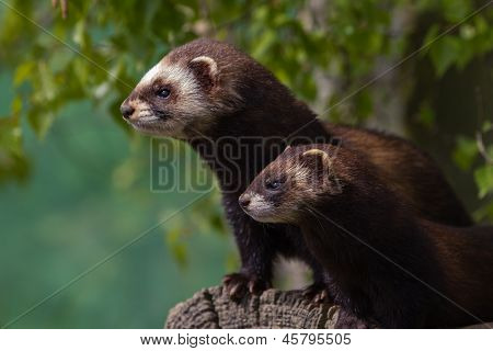 Mother And Young Polecat