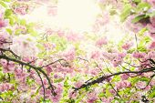 picture of japanese magnolia  - blossom - JPG