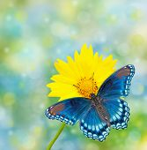Red-spotted Purple Admiral on yellow Coreopsis flower, against dreamy blue and green bokeh backgroun