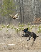 picture of ringneck  - A hunting dog chasing a rooster pheasant - JPG