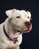 image of pitbull  - A white deaf and blind pitbull posing for a head shot  - JPG