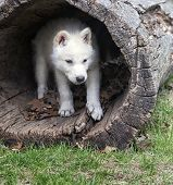 picture of hollow log  - Arctic wolf pup seeks shelter in a hollowed log - JPG