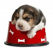 stock photo of puppy beagle  - Beagle puppy in red dog bowl - JPG
