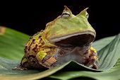 stock photo of tropical rainforest  - Pacman frog or toad - JPG