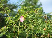 pic of wild-brier  - Pink wild rose flower - JPG