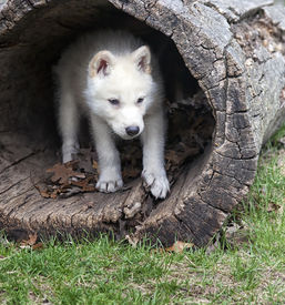 image of hollow log  - Arctic wolf pup seeks shelter in a hollowed log - JPG