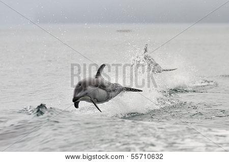 Pacific weiß einseitig Delphin