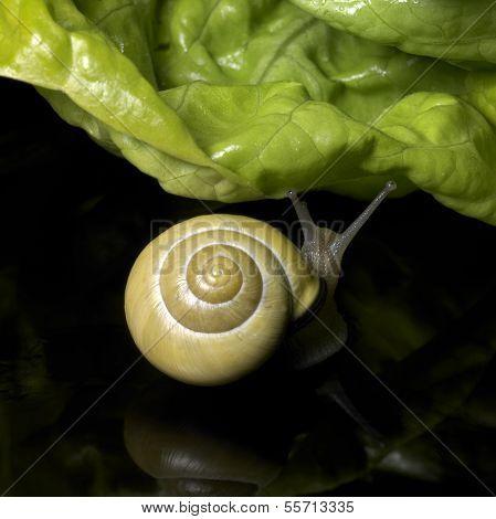Grove Snail And Salad