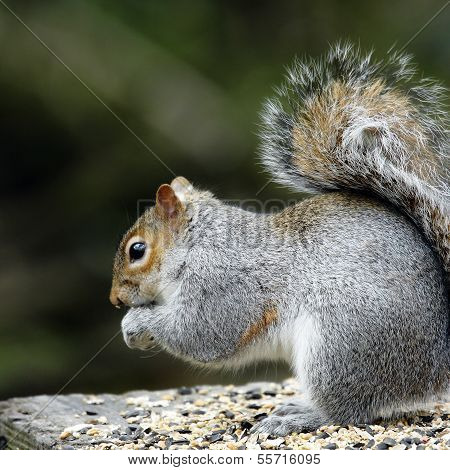 An adult Grey Squirrel(Sciurus carolinensis) feeding.