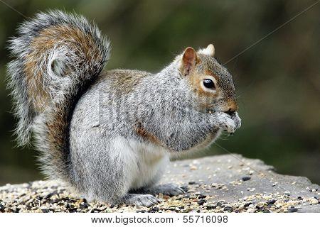 An adult Grey Squirrel(Sciurus carolinensis).