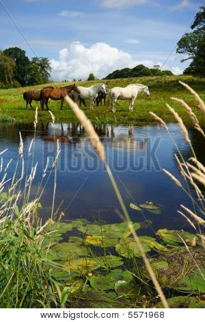 Horses At The River