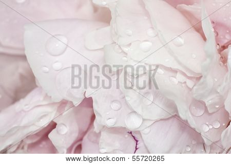 Pale Pink Peonies With Water