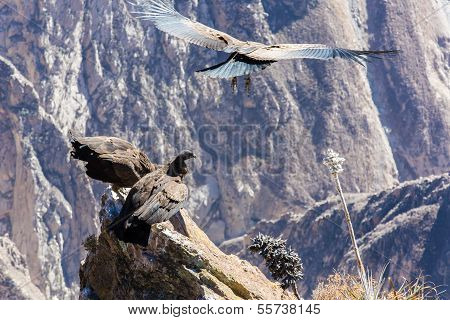 Flying Condor Over Colca Canyon,peru,south America. This Condor The Biggest Flying Bird On Earth