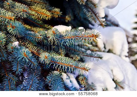 Paws Blue Spruce (lat. Picea Pungens) In The Snow