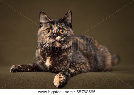 Beautiful tortoiseshell cat with yellow eyes