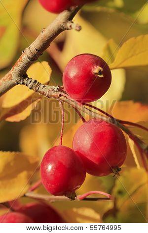Chokecherry Tree Fruit