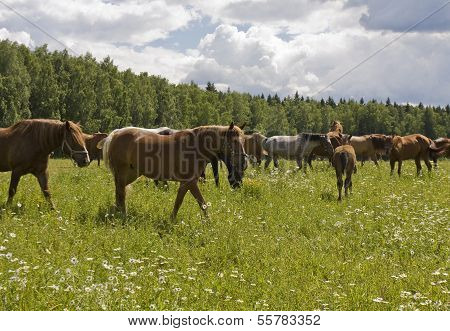 Horses On A Meadow With Flowers