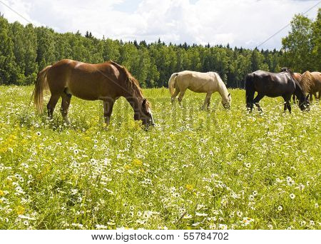 Horses On Meadow In Blossom