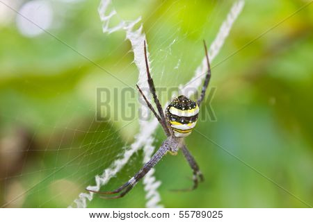 Beauty Insect On Web In Forest