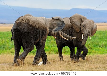 African Elephants Playing in Amboseli NP