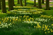foto of daffodils  - grass lawn with daffodils  in dutch garden  - JPG
